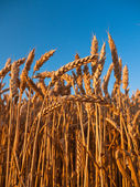 小麦的茎梗 — 图库照片