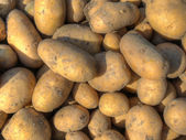 Freshly harvested potatoes — Stockfoto