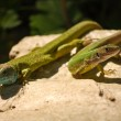 A couple of lizards — Stock Photo