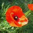 Poppies — Stock Photo #2835265