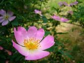 Flowering dogrose — Stock Photo