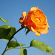 Yellow rose — Stock Photo #2840041