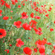 Poppies — Stock Photo #2879541