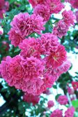 Flores of rose — Stock Photo