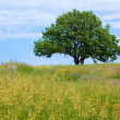 Old lone oak tree — Stock Photo