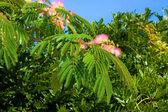 Rose acacia branch — Stock Photo