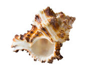 Marine shell — Foto Stock