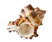 Concha marinha — Foto Stock