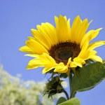 Sunflower against blue sky — Stock Photo #2847557