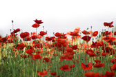 Champ de coquelicots rouges — Photo