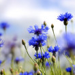 Cornflowers - Stock Photo