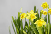 Spring daffodils (narcissus) — Stock Photo