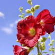 Stock Photo: Hollyhock