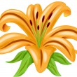 Stock Vector: Orange lily flower vector