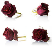 Set of four dry red rose flower — Stock Photo