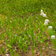 Lily of the valley in spring forest — Stock Photo