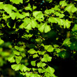 Leaves of Ginkgo biloba tree - Stock Photo