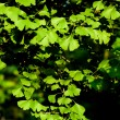 Leaves of Ginkgo biloba tree — Stock Photo #2835394