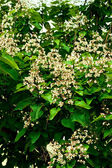 Flowers of Indian bean tree — Stock Photo