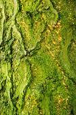 Background of bark of Ginkgo tree — Stock Photo