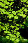 Leaves of Ginkgo biloba tree — Stock Photo