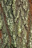 Background of bark of White Poplar — Stock Photo