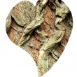 Heart of bark of White Willow, Salix alba — Stock Photo