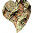 Stock Photo: Heart of bark of White Willow, Salix alba