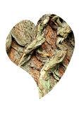 Heart of bark of White Willow, Salix alba — Stock Photo