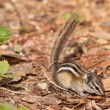 Least Chipmunk — Stock Photo