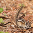 Stock Photo: Least Chipmunk