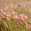Foxtail Barley — Stock Photo