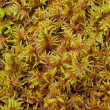 Peat Moss (Sphagnum) - Stock Photo
