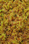 Peat Moss (Sphagnum) — Stock Photo