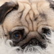 Sweet pug is lying and watching — Stock Photo