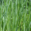 Foto Stock: Green onion on the field