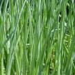 Stock Photo: Green onion on the field
