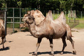 Bactrian camel in zoo — Stock Photo