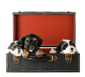 Terrier Puppies — Stock Photo