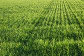 The bright green field, illuminated sun — Stock Photo