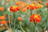 Marigold. — Stock Photo