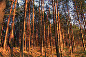 Inside the clean pine forest. The trunks of pines covered the summer sun. — Stock Photo