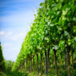Vineyard rows in Germany