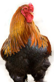 Verry nice young hen — Stock Photo