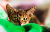 Young Abyssinian cat in action — Stock Photo