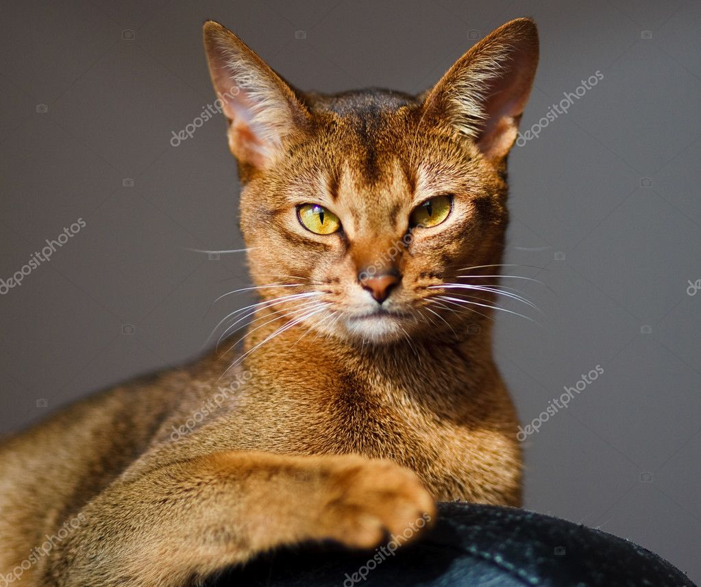 Verry cool and wounderful young abyssinian cat photo — Stock Photo #2869910