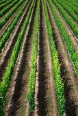 Vineyard rows in Germany — Stock Photo