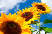 Fresh sunflower on blue sky — Stock Photo