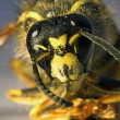 Stock Photo: Killer bee