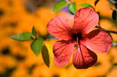 Pink hibiscus on yellow background — Stock Photo